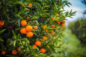 clementine vendita conforti